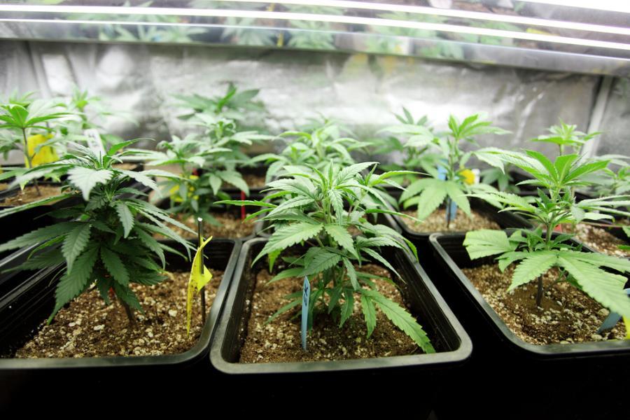 marihuana, narkotyki