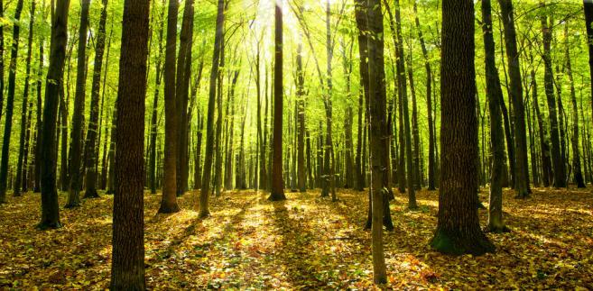 drzewa w lesie