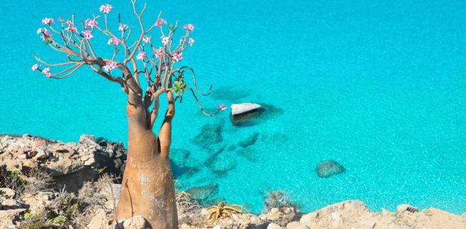 Sokotra jest jedną z nielicznych wysp na świecie charakteryzujących się setką endemicznych gatunków