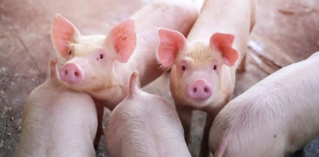 Tylko do zwalczenia afrykańskiego pomoru świń trzeba natychmiast zatrudnić 440 lekarzy weterynarii – szacuje samorząd.