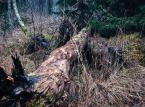 Dlaczego nasadzenia szkodzą Puszczy Białowieskiej [OPINIA]