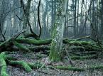Tomasz Wesołowski: Największy opór w tworzeniu parku narodowego na terenie całej Puszczy Białowieskiej stawiają Lasy Państwowe [WYWIAD]