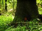 Na terenie projektowanego Turnickiego Parku Narodowego znajduje się prawie 6,5 tys. drzew o wymiarach pomnikowych. Fundacja Dziedzictwo Przyrodnicze dokonała ich inwentaryzacji i wskazała ich dokładne położenie, jednak radni nie zdecydowali się na utworzenie ani jednego pomnika przyrody. Oznacza to, że drzewa te nadal zagrożone są wycinką. Jak widać na zdjęciu, Lasy Państwowe specjalnie oznaczyły wskazane przez Fundację drzewa. Nie wiadomo jednak, czy ta niepisana umowa zostanie dotrzymana. Jak wyjaśnia bowiem Piotr Klub, członek Fundacji, planowana wycinka na tym terenie jest większa niż w Puszczy Białowieskiej. Tam z 1 hektara planowano pozyskanie 3,65 m3 drewna, a na terenie planowanego TPN – 3,85 na m3.  <br><br> Warto podkreślić, że projektowany TPN objąłby swoim obszarem jednie tereny należące do Skarbu Państwa. Spod ochrony parkowej wyłączone zostałyby nieruchomości leżące w rękach prywatnych, w tym kompleks wypoczynkowy w Arłamowie.  <br><br> fot. Maciek Suchorabski